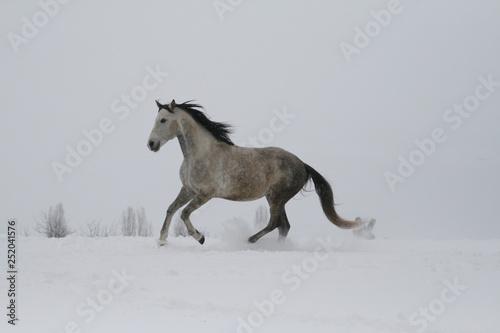 Foto op Canvas Paarden arab horse on a snow slope (hill) in winter