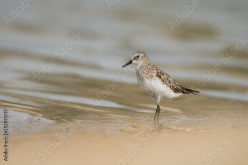 Valokuva  Little stint / Calidris minuta. Al Qudra lake. UAE