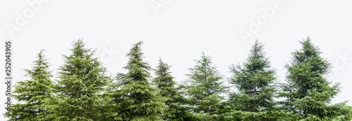 Tablou Canvas cedar trees isolated