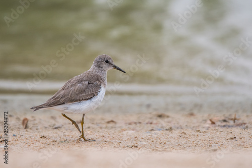 Temminck's stint (Calidris temminckii) Canvas-taulu