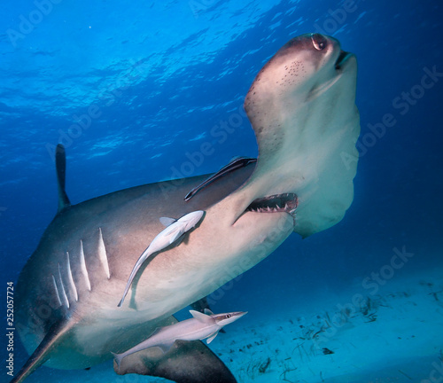 Obraz Great hammerhead shark. - fototapety do salonu