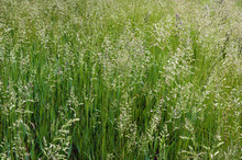 The Tall Fescue