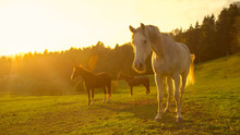 LENS FLARE: Stunning Shot Of Older Horses Standing Around In A Large Pasture.
