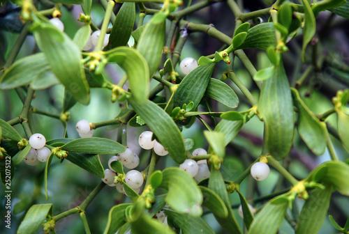 Fotografie, Obraz Parasitic european mistletoe