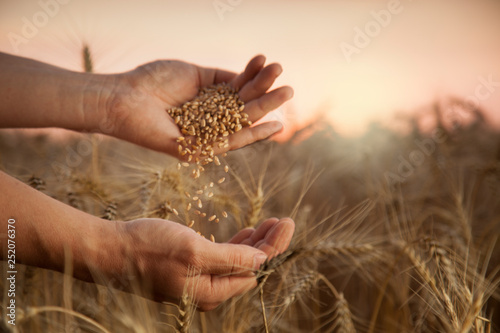 Fototapeta man pours wheat from hand to hand on the background of wheat field obraz