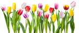 Fototapeta Tulipany - Many different tulip flowers isolated