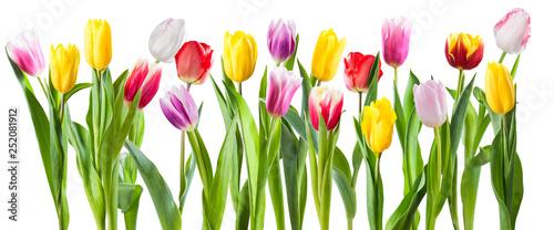 Wiele różnych kwiatów tulipanów na białym tle