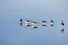 Black-necked Stilt Feeding In The Wetlands Of Alviso Marsh, San Jose, South San Francisco Bay, California