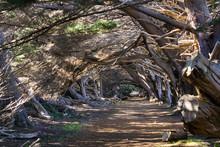 Trail Through Monterey Cypress Trees (Cupressus Macrocarpa), California