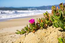 Purple Carpobrotus Edulis Flower On A Beach, California