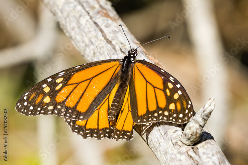 Male Monarch Butterfly resting on a branch, Half Moon Bay, California