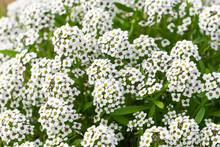 White Small Wildflowers, California