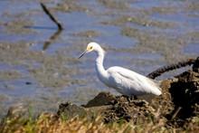 Snowy Egret Hunting On The Shoreline Of Baylands Park, Palo Alto, South San Francisco Bay Area, California