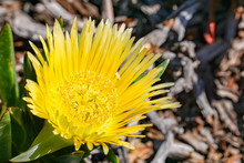 Yellow Iceplant Flower (Carpobrotus Edulis), California