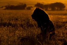 Male Lion Silhouette