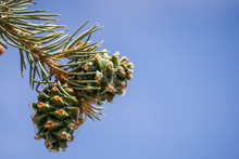 Two Pine Cones On A Branch On A Sky Background