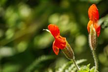 Pride Of The Mountain (Penstemon Newberryi) Wildflowers, Eastern Sierra Mountains, California