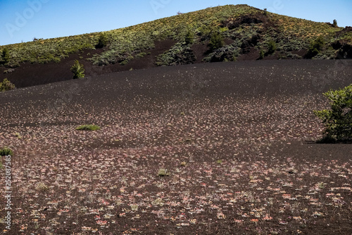 Wild flowers growing on volcanic rock, Craters of the moon, National Park Idaho Fototapet