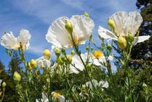 Matilija Poppy Flowers, California