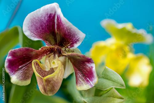 Foto  Paphiopedilum-Hybride