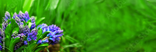 fresh bright violet blooming hyacinth bouquet with green leaves in focus on the background of defucused garden. Wallpaper. Long horizontal banner with copy space for text and design.