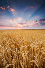 Field Wheat Ears In Rays Of The Setting Sunset