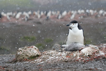 Chinstrap Penguin And Chick In Nest During Snow