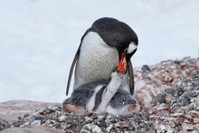 Gentoo Penguin Feeding Its Chick