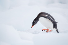 Gentoo Penguin Stands On Ice B...