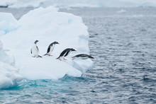 Gentoo Penguins Jump Off Iceberg