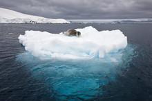 Leopard Seal Lays On Iceberg