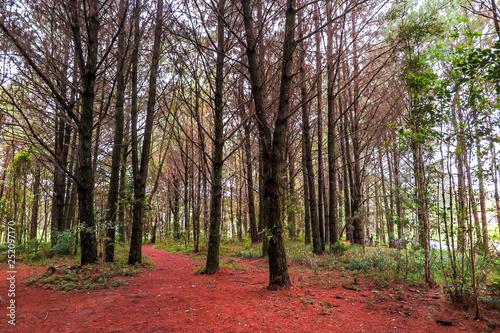 Fotografiet  Pine forest, with dry leaves on the ground, Perimbo dam, Petrolandia, Santa Cata