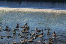 Geese In The River 1