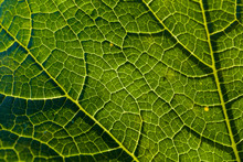 Detail Of A Savoy Leaf