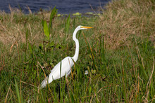 Great White Egret Standing Tall