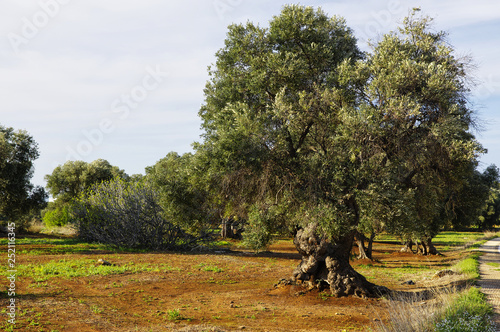 Fotografia, Obraz  Typical plantation with old oddity olive trees for Apulia region at the south It