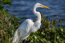 Great Egret - Focus On Prey An...
