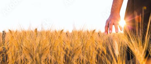 Obraz na plátně Mano di una donna sta accarezzando delle spighe di grano maturo al tramonto