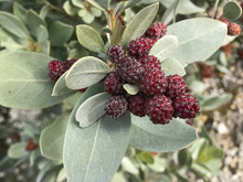 Buttonwood Tree With Cone-like Seed Clusters Close-up