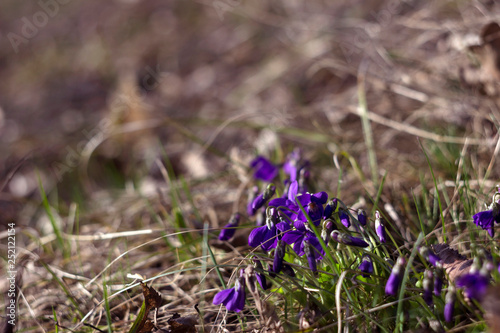 Viola odorata (Sweet Violet, English Violet, Common Violet) - violet flowers bloom in the spring in spring wild meadow, background