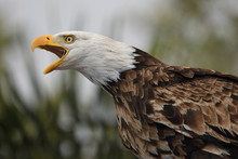 Head Shot Of A Bald Eagle (hal...