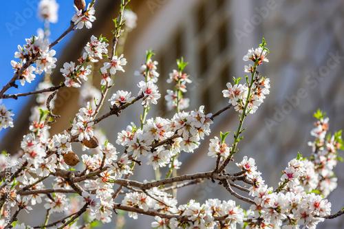 Photo  Almond blossom season in village Selva, Mallorca