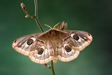 Small Emperor Moth (Saturnia Pavonia), Tyrol, Austria, Europe