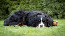 Female Bernese Mountain Dog, Domestic Dog (Canis Lupus Familiaris), Lying In A Meadow, Germany, Europe