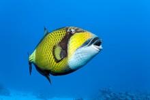 Titan Triggerfish (Balistoides Viridescens) Swims In The Open Sea, Red Sea, Egypt, Africa