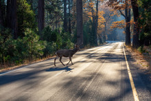 Male Deer Running Across The Scenic Road Surrounded By The Beautiful Trees. Taken In Yosemite National Park, California, United States.