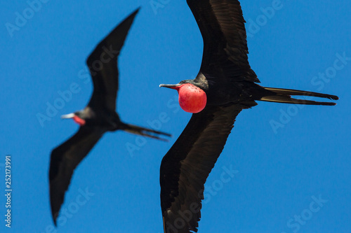 A wild magnificent frigatebird flying outside of Fort Jefferson in Dry Tortugas National Park (Florida) Canvas Print