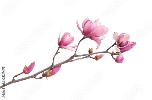 Pink magnolia flowers isolated on white background Wallpaper Mural
