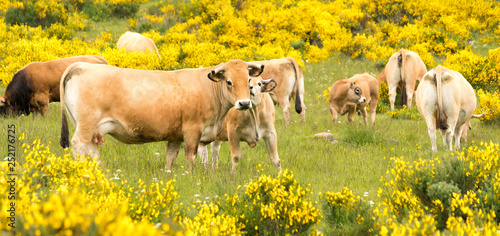 Slika na platnu Cows of Aubrac among the flowering broom