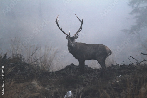 Spoed Fotobehang Hert beautiful red deer buck in the wilderness of Carpathian mountains